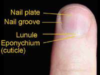 fingernail for Histology - World
