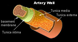 histology of artery