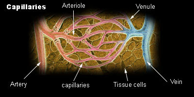 histology of capillaries