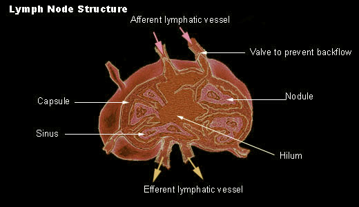 lymph node for Histology - World