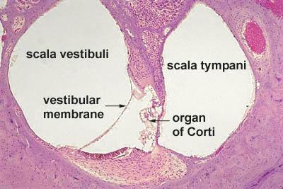 cochlear histology labeled Ear Histology - Cochlea (labels) - histology slide -