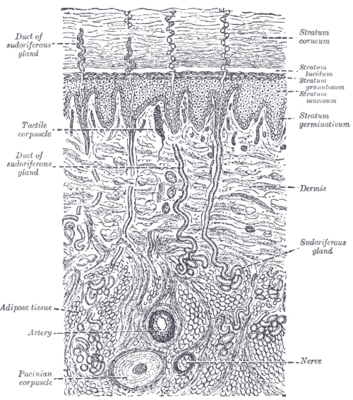 Gray\'s Anatomy - Skin (labels) - histology illustration -