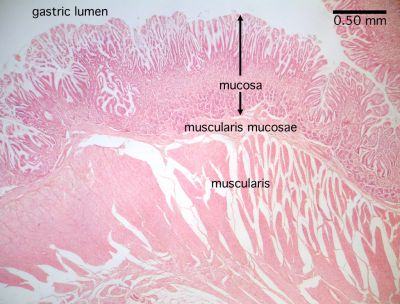 Pyloric Stomach Histology | www.pixshark.com - Images ...