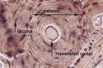 Bone Histology - Compact bone (labels) - histology slide