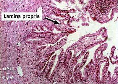 Gallbladder Histology - Gallbladder, dog (labels ...