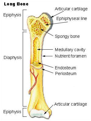 bone histology long bone labels histology illustration. Black Bedroom Furniture Sets. Home Design Ideas
