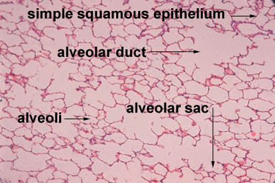 Epithelium Histology - Simple squamous epithelium (labels ...