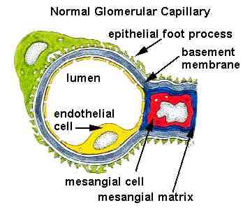 Kidney Histology - Glomerular capillary - histology ...