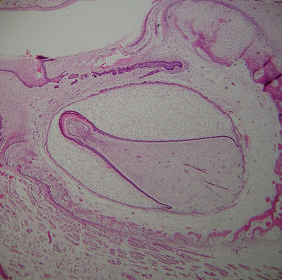 Tooth Histology - Developing tooth - histology slide