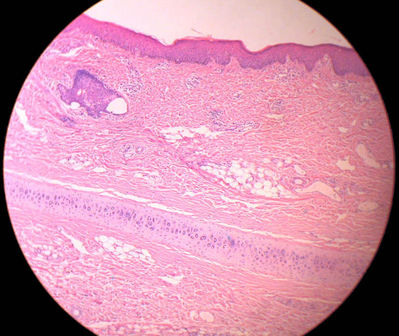 Ear Histology External Ear Monkey Histology Slide