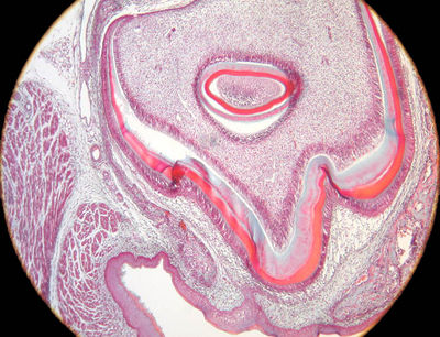 Tooth Histology - Early dentine formation, pig - histology ...