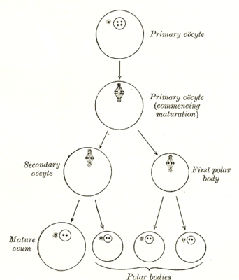 Meiosis diagram to label all kind of wiring diagrams gray s anatomy meiosis labels histology illustration rh histology world com easy meiosis diagram meiosis labeled diagram ccuart Image collections