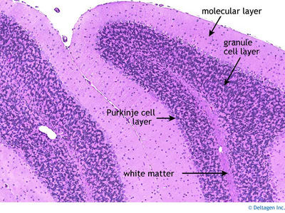 Displayimage on mouse adrenal gland