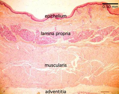 Esophagus Histological Slide Esophagus Labels Histology