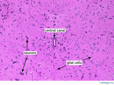 Central Nervous System Histology - Spinal Cord - Spinal ...