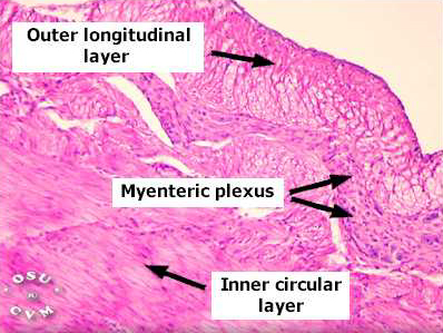 Stomach Histology - Stomach (labels) - histology slide