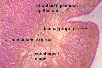 histology of esophagus