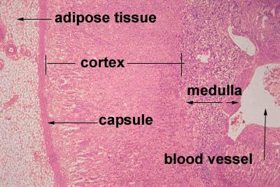 Histology World Histology Fact Sheet Adrenal Gland